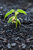 'Close up of bean seedlings emerging from the soil and showing their first set of leaves; Toronto, Ontario, Canada'