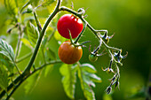 'Cherry tomatoes on the vine in a vegetable garden; Toronto, Ontario, Canada'