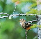 'Winter Wren (Troglodytes hiemalis) singing; Ontario, Canada'
