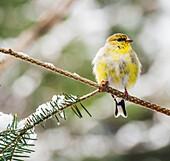'American goldfinch (Carduelis tristis); Ontario, Canada'