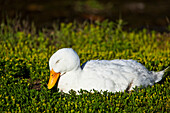 'White Duck napping in spring greens, Chena River State Recreation Area; Fairbanks, Alaska, United States of America'