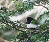 'Dark-eyed junco on a spruce tree; Ontario, Canada'