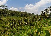 Tegallalang rice terraces, Bali, Indonesia