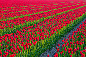 Rows of red tulips, North Holland, Netherlands, Europe