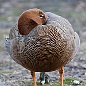 Ruddy-headed goose (Chloephaga rubidiceps), Sea Lion Island, Falkland Islands, South America