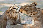 Lion (Panthera leo), pride members grooming, Kgalagadi Transfrontier Park, Northern Cape, South Africa, Africa
