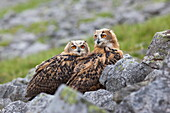 European eagle owl chicks (Bubo bubo), captive, United Kingdom, Europe