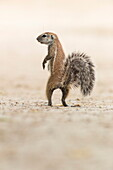Ground squirrel (Xerus inauris) standing upright, Kgalagadi Transfrontier Park, Northern Cape, South Africa, Africa