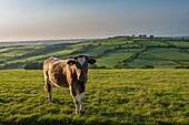 Cow grazing in beautiful rolling countryside, Devon, England, United Kingdom, Europe