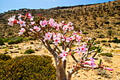 Bottle tree in bloom (Adenium obesum), endemic tree of Socotra, Homil Protected Area, island of Socotra, UNESCO World Heritage Site, Yemen, Middle East
