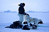 Dog sled leader with polar bear skin trousers and sled dogs on the frozen ocean at Qaanaaq, Northwest Greenland, Greenland