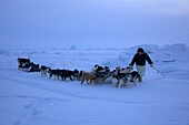 Dog sled guide with his sled dogs on the frozen ocean at Qaanaaq, Northwest Greenland, Greenland