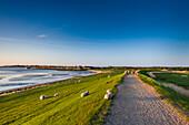 Sheep on the dike, Steenodde village, Amrum Island, North Frisian Islands, Schleswig-Holstein, Germany