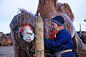 Mongolian Nomad with camel in the winter camp, Gobi desert, Mongolia