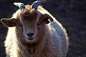 Cashmere goat, Mongolia