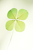 a traditional good luck symbol, the four leaf clover.