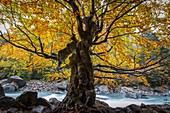 River and deciduous forest in autumn. Bujaruelo Valley. Huesca, Aragon, Spain, Europe.