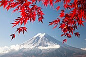 Momiji (Acer palmatum) leaves, Mount Fuji, Japan