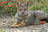 Argentine grey fox  Dusicyon griseus  family : canidae  order :carnivora.