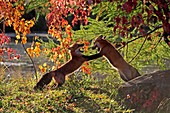 Red Fox  Adult  Vulpes vulpes  Order : Carnivora  Family : Canidae.