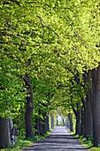 beautiful oak alley in Mecklenburg-Western Pomerania