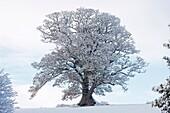 Winter scene - Snow on mature oak Quercus - Hereforeshire - UK - December 2010.