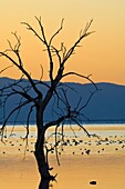 Birds and barren tree at sunset at the Salton Sea, Imperial Valley, California