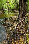 Alders in forest, upper Rudron river, Hoces del Alto Ebro y Rudron Natural Park, Burgos province, Castilla-Leon, Spain