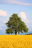 agrarian, tree, mountain, mountains, mountain panorama, pear tree, pear, light bulb, pears, light bulbs, blossom, flourish, flower splendour, field, flora, spring, sky, pomes, agriculture, nature, fruit, fruit_tree, Oetwil am See, plant, Pyrus domestica,