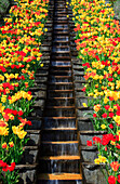 Flowers, blossom, flourish, flower splendour, Germany, field, freshness, spring, garden, garden plant, island, isle, Mainau, Constance, Mainau, pattern, sample, nature, plant, splendour, castle garden, stair, Tulipa, tulip, tulips, vegetation, water, wate