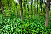 Sihlwald, Switzerland, Europe, canton Zurich, nature reserve, wood, forest, trees, beeches, forest ground, ramson, wild garlic, fern, spring