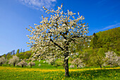 Saint Pantaleon, Switzerland, Europe, canton Solothurn, meadow, orchard, blossoming, fruit_trees, cherry trees, spring