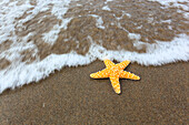 Detail, coast, macro, bull, bulls, patterns, close_up, nature, North, sand, sand beach, Scotland, starfish, starfish California,