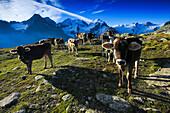 Alp, Alps, view, Fuorcla Surlej, mountain, mountains, mountain massif, Biancograt, Engadin, Engadine, Fuorcla Surlej, mountains, Graubünden, Grisons, herds, sky, cow, herd, cows, morning, morning light, Oberengadin, Upper Engadine, Piz Bernina, Piz Roseg,