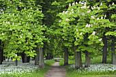 Footpath through blossoming Chestnut surrounded of blooming Ramsons (Wild garlic), (Allium ursinum) in spring at castle Park Putbus, Insel Rügen, Isle of Ruegen, Mecklenburg-Vorpommern, Germany.