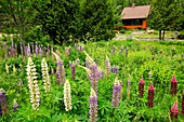 Suburban Residence gardens- lupines in a naturalized yard