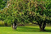 Apple trees in late summer