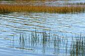Hard-stemmed bullrush (Schoenoplectus acutus) colony in Lake Mindemoya Manitoulin Island, Ontario