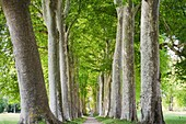 Allée of plane trees