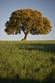 Quercus ilex, holm oak, evergreen oak, Campo Charro region, Salamanca province, Castilla y León, Spain