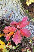 Small oak tree in autumn - Bavaria/Germany