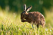 European brown hare Lepus capensis europaeus, sitting in grassland and cleaning its fur, spring, Hungary
