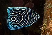 Juvenile Emperor Angelfish, Pomacanthus imperator, Alam Batu, Bali, Indonesia