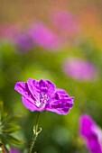 Close up of a violet cranesbill flower (Geranium), Germany, Europe