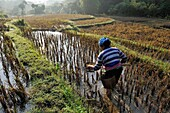 Vietnam, province of Hoa Binh, national Park of Cuc Phuong, Ban Hieu, woman of Thai ethnic group fishing in the rice fields in terrace after the harvest