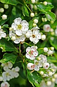 Oneseed Hawthorn, Crataegus monogyn blossoms crowd together  Blossoms of the hawthorn can be used for making wine and honey  Berries of the hawthorn are rich in vitamin C and made into syrups, jams and jellies