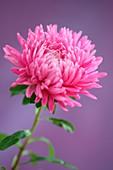 Graceful Pink Aster Single Stem