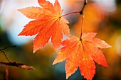 brilliant autumn colour of the changing maple leaf.