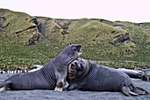 Male southern elephant seal Mirounga leonina pups mock fighting on South Georgia Island in the Southern Ocean  MORE INFO The southern elephant seal is not only the most massive pinniped but also the largest member of the order Carnivora to ever live  The