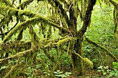 forest floor and trees with moss hanging from branches, Minnekhada Regional Park, Coquitlam, British Columbia, Canada